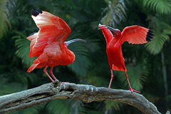 Scarlet ibis. ITATIBA, SP, BRAZIL - OCTOBER 31, 2015 - Scarlet ibis, Eudocimus ruber, bird of the Threskiornithidae family, admired by the reddish coloration of Stock Image