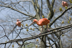 Scarlet Ibis on Limb. Scarlet Ibis or Eudocimus ruber bird perched on tree limb stock photos