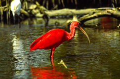 Scarlet Ibis. On a mangrove swamp fishing, coastal range, Venezuela stock images