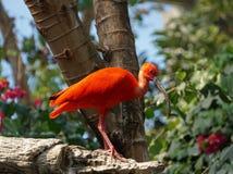 Scarlet ibis Royalty Free Stock Images