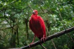 Scarlet Ibis at Parque das Aves - Foz do Iguacu, Parana, Brazil. Scarlet Ibis at Parque das Aves in Foz do Iguacu, Parana, Brazil royalty free stock photos