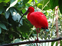 Scarlet Ibis. Perched on a branch stock photos