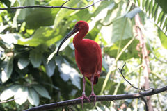 Scarlet Ibis. A Scarlet Ibis perched on a tree branch stock photos
