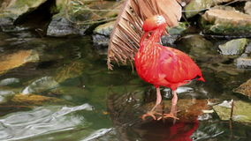 Scarlet Ibis at a pond stock footage