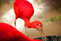 Scarlet Ibis Royalty Free Stock Images