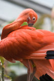 Scarlet Ibis Preening. A close up of a captive Scarlet Ibis, Eudocimus ruber, preening Royalty Free Stock Photography