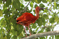 Scarlet Ibis. In the rainforest Stock Photography