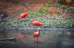 scarlet ibis red bird on river royalty free stock photography