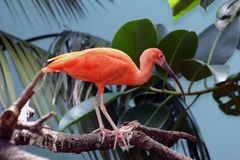 Scarlet Ibis Resting On A Branch stock image