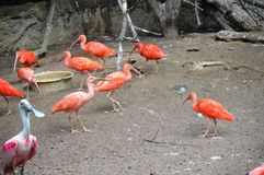 Scarlet Ibis and Roseate Spoonbill Royalty Free Stock Images