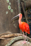 Scarlet Ibis Stock Photo