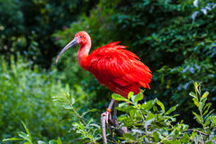 Scarlet Ibis. Sitting on a branch Royalty Free Stock Photos