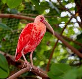 Scarlet ibis sitting on a branch in a zoo royalty free stock image