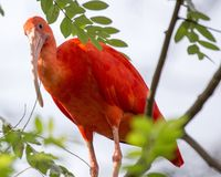Scarlet Ibis Stock Photos