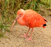 Scarlet ibis standing Stock Photo