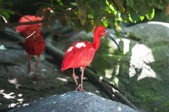 Scarlet ibis standing. On a rock Royalty Free Stock Photography