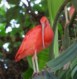 Scarlet Ibis. A scarlet Ibis in a tree Stock Images