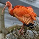 Scarlet ibis 1 Stock Photo
