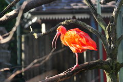 Scarlet Ibis on a tree Stock Images