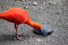 Scarlet Ibis with a turtle Stock Images