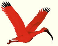 Scarlet ibis. The Scarlet ibis is a wading bird that uses its long bill to catch fish, insects and crustaceans Royalty Free Stock Photo