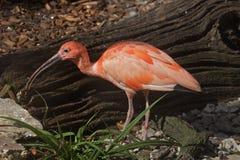 The Scarlet Ibis Stock Photo