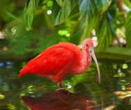 Scarlet Ibis Wading Royalty Free Stock Photography