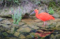 Scarlet ibis wading fishing reflectioned stock image