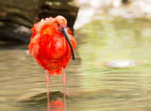 Scarlet Ibis wading through the water Royalty Free Stock Photo