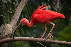A south american scarlet ibis walking along a bran Stock Images
