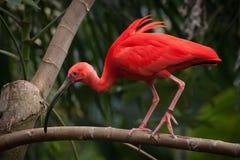 A south american scarlet ibis walking along a bran. A scarlet ibis walking along a branch Stock Images