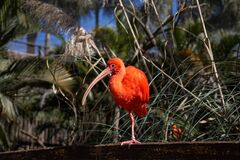 Scarlet ibis, a wild bird of intense color considered one of the most beautiful Brazilian birds