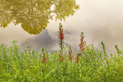 Scarlet Indian Paintbrush – Castilleja coccinea. Scarlet Indian Paintbrush is a partially parasitic plant. The plant appropriates nourishment from other stock photos
