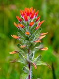 Scarlet Indian paintbrush flower - vertical royalty free stock image