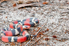 Scarlet Kingsnake Royalty Free Stock Photo
