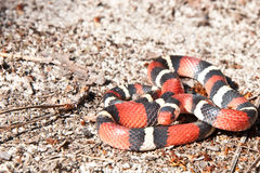 Scarlet Kingsnake. A Scarlet Kingsnake coiled on the ground Stock Images