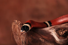 Scarlet kingsnake. Milk snake on the branch Royalty Free Stock Image