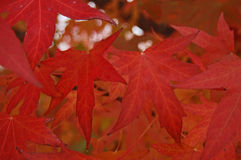 Scarlet leaves Stock Photos