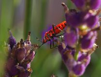 The scarlet lily beetle Stock Photo