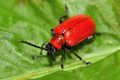 Scarlet lily beetle (Lilioceris lilii) Royalty Free Stock Photography
