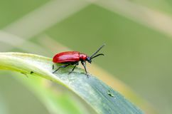 Scarlet lily beetle on a lily royalty free stock photo