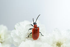 Scarlet Lily Beetle on White Flowers Close-Up Stock Photo