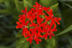 Scarlet lychnis flower, summertime in South Windsor, Connecticut Royalty Free Stock Photos