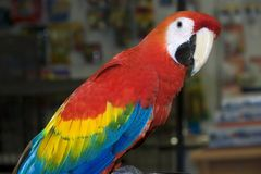 Scarlet Macaw. In a Pet Store Royalty Free Stock Photography