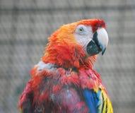 scarlet macaw Royalty Free Stock Image