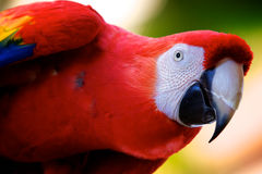 Free Scarlet Macaw Stock Images - 15201434