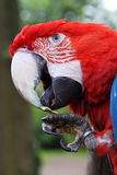 Scarlet Macaw. A close up of Scarlet Macaw eating a peanut Stock Images