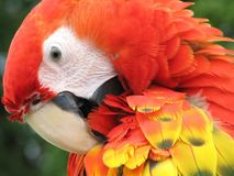 Scarlet Macaw. Closeup of a beautiful scarlet macaw Royalty Free Stock Photography
