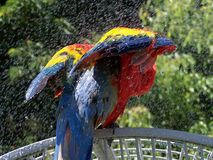 Scarlet Macaw. Closeup of the back of a scarlet macaw taking a bath stock photos