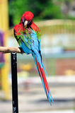 Scarlet Macaw Stock Photo